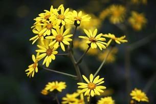 ツワブキの花の写真素材 [FYI04495633]