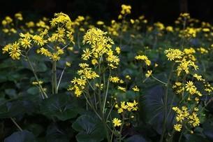 ツワブキの花の写真素材 [FYI04495634]
