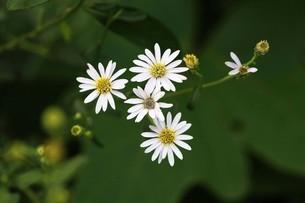 野菊・ノコンギクの花の写真素材 [FYI04495639]