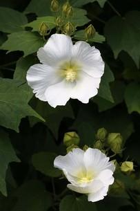 フヨウの白い花の写真素材 [FYI04495643]