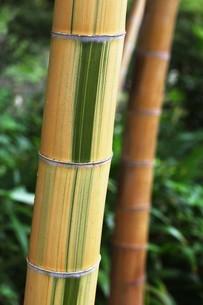 珍しい竹・キンメイモウソウの写真素材 [FYI04495651]