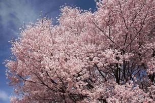 桜・エドヒガンの花の写真素材 [FYI04495653]