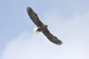 オオワシの飛翔(北海道・知床)の写真素材 [FYI04495819]