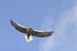 オオワシの飛翔(北海道・知床)の写真素材 [FYI04495821]