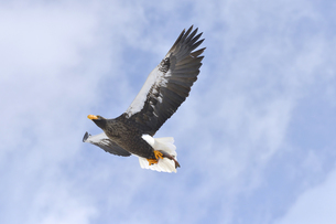 魚をつかんで飛ぶオオワシ(北海道・知床)の写真素材 [FYI04495822]