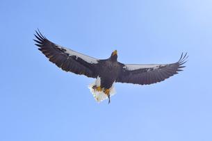 魚をつかんで飛ぶオオワシ(北海道・知床)の写真素材 [FYI04495823]