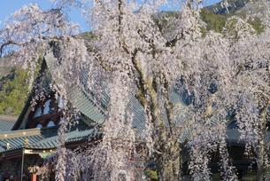 身延山久遠寺のしだれ桜の写真素材 [FYI04496012]