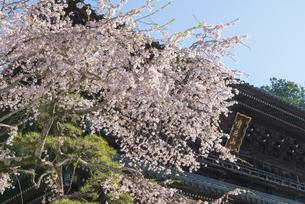 身延山久遠寺の桜の写真素材 [FYI04496014]