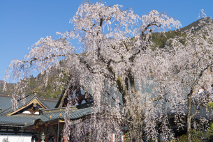 身延山久遠寺のしだれ桜の写真素材 [FYI04496016]