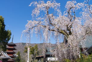 身延山久遠寺のしだれ桜の写真素材 [FYI04496020]