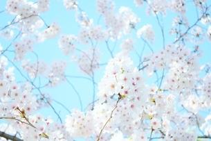 青い空と桜の写真素材 [FYI04496050]