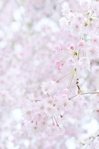 下から見たしだれ桜の写真素材 [FYI04496051]