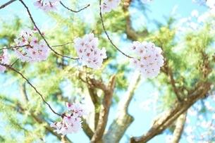 桜と松の写真素材 [FYI04496052]