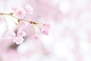 京都枝垂れ桜の写真素材 [FYI04496053]