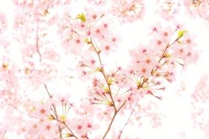 ハートの桜の写真素材 [FYI04496054]