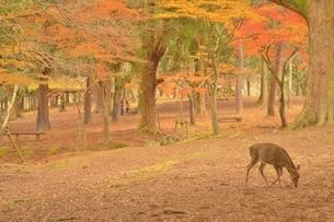秋の奈良公園の写真素材 [FYI04496056]