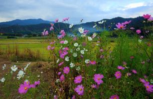 嵯峨野コスモスの花の写真素材 [FYI04496130]