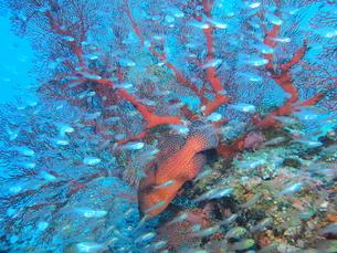 沖縄の海 リュウキュウイソバナの写真素材 [FYI04496375]