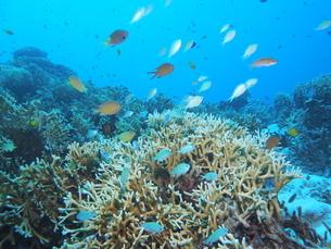 沖縄の海 デバスズメダイ群れの写真素材 [FYI04496376]
