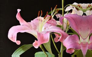 黒背景のピンクカサブランカの写真素材 [FYI04496609]
