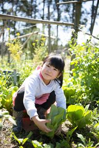野菜を収穫している女の子の写真素材 [FYI04496818]