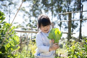 野菜を収穫している女の子の写真素材 [FYI04496819]