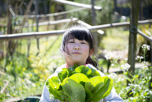 収穫したレタスを持っている女の子の写真素材 [FYI04496824]