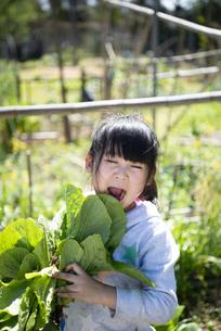 収穫したレタスを持っている女の子の写真素材 [FYI04496827]