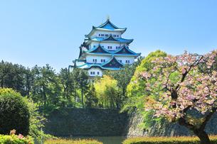 名古屋城天守閣と桜に快晴の空の写真素材 [FYI04496900]