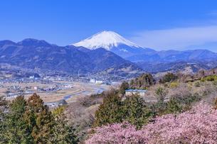 松田山から望む桜と富士山と町並みの写真素材 [FYI04497162]