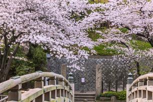 桜と橋 音無親水公園の写真素材 [FYI04497188]
