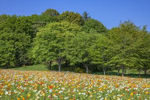 ポピー咲く新緑の公園の写真素材 [FYI04497208]
