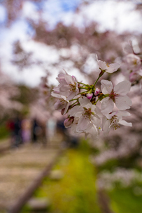 京都 蹴上インクラインの桜の写真素材 [FYI04497329]