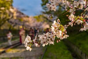 京都 蹴上インクラインの桜の写真素材 [FYI04497337]
