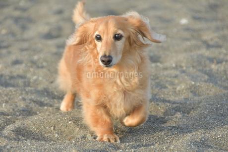 砂浜を散歩する犬の写真素材 [FYI04497376]