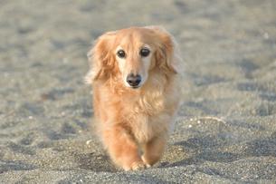 砂浜を散歩する犬の写真素材 [FYI04497377]