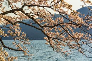 滋賀県 海津大崎の桜の写真素材 [FYI04497429]