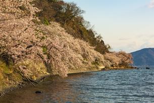 滋賀県 海津大崎の桜の写真素材 [FYI04497432]
