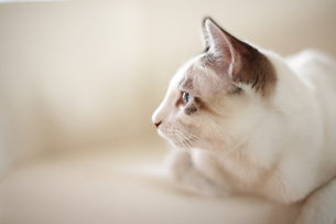 ソファーでのんびりとする子猫の写真素材 [FYI04497588]
