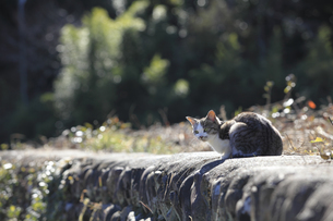 山里の石垣の上でくつろぐ野良猫の写真素材 [FYI04497589]