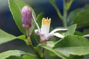 仲良くレモンの花と蕾が並ぶの写真素材 [FYI04497592]