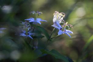 木漏れ日の中で花開くヤマジノホトトギスの写真素材 [FYI04497600]