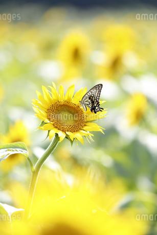 ヒマワリの蜜を吸うキアゲハの写真素材 [FYI04497606]