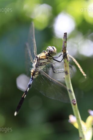 枝に止まるシオカラトンボのメスの写真素材 [FYI04497609]