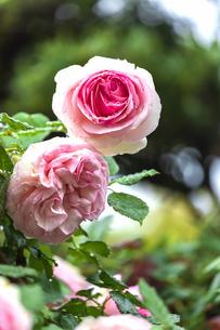 5月のバラの写真素材 [FYI04497619]