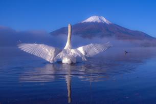 羽ばたく白鳥と富士山の写真素材 [FYI04497620]