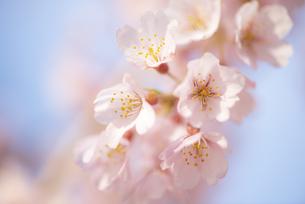 青空に咲くエドヒガンザクラの写真素材 [FYI04498852]