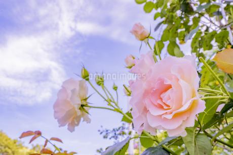 満開のバラの写真素材 [FYI04498932]
