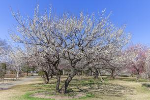 梅の花咲く水戸偕楽園の写真素材 [FYI04499093]