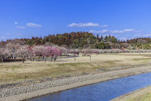川流れる梅林 水戸偕楽園の写真素材 [FYI04499099]